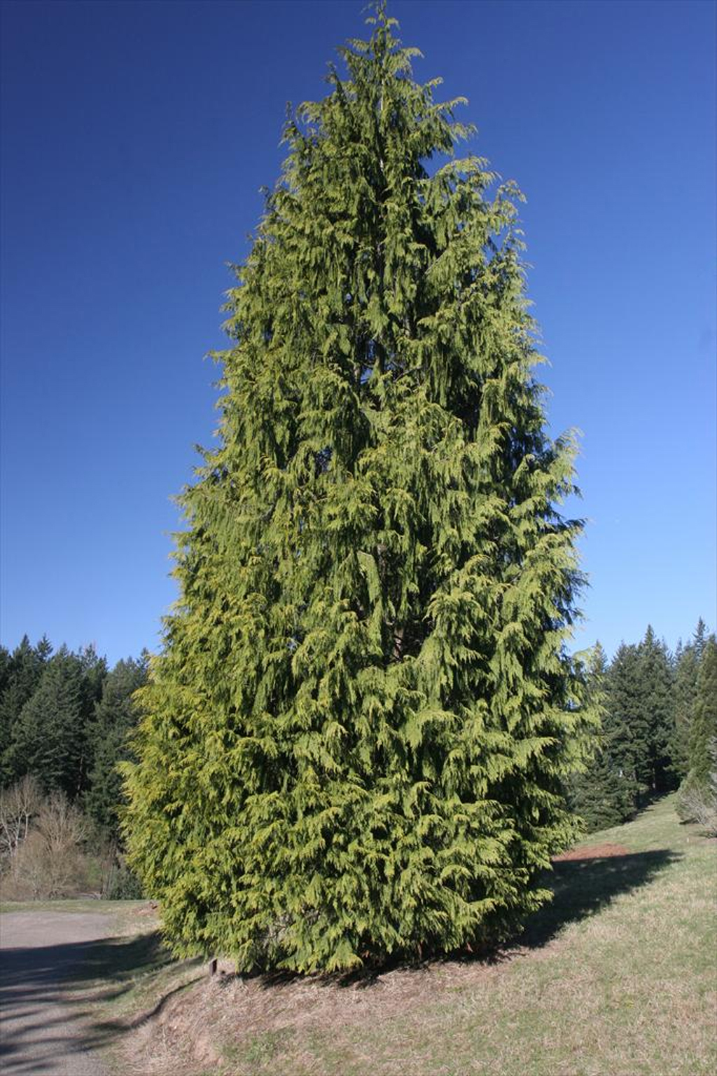 Western Red Cedar ~ Modern plant communities in the puget lowland begin to