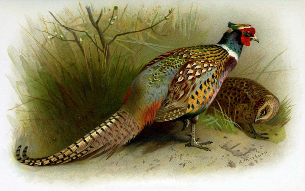 The first ring-necked pheasants introduced into the United
